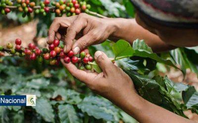 """""""Queremos que el cacao se convierta en equivalente del café colombiano"""": Vicepresidenta"""
